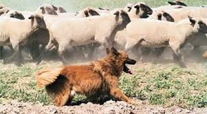 australian shepherd herding sheep bc museum herding dogs of western europe germany