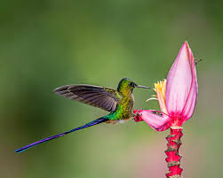 Flower And Bird - bird bees and banana flower a violet tailed sylph humming flickr