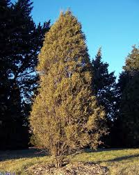 rocky mountain juniper juniperus scopulorum
