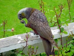 Canopy Birds by Kaka New Zealand Birds Online