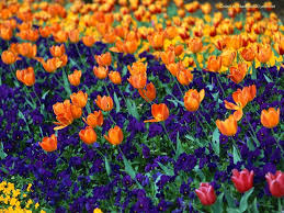 flower england tulip field travel flowers colors purple orange