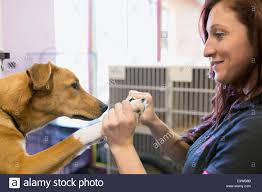 dog groomer clipping dogs nails stock photo royalty free image