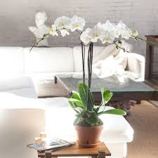 white orchids orchid arrangement terra trio with white orchids orchid