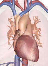 Images Of Human Anatomy And Physiology Human Heart U2013 Diagram And Anatomy Of The Heart