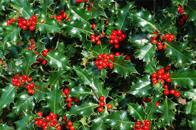 christmas plants 10 wonderful and popular christmas plants for more beautiful home