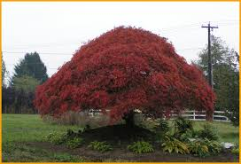 large ornamental trees