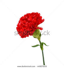 Red Carnations Red Carnation Stock Images Royalty Free Images U0026 Vectors