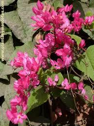 imagenes flores bellisimas bellísima antigonon leptopus plantas y mascotas