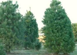 christmas tree prices hike in christmas tree prices due to tree shortage