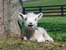 Alpaca Sheep Meme - cutest baby lamb imgur