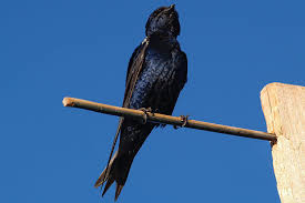 15 fun facts about purple martins trivia