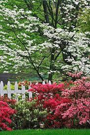 best 25 dogwood trees ideas on white flowering trees