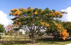 plants native to florida native and exotic plants of florida royal poinsiana trees