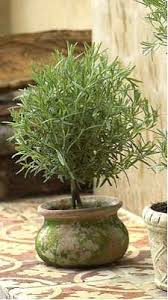 Fragrant Container Plants - herb based topiaries are pretty fragrant and a different sort of