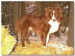 australian shepherd orange australian shepherd dog breed information and pictures