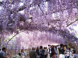 does this view really exist fantastic wisteria flower kawachi