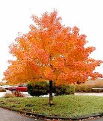 Good Backyard Trees by Top 25 Best Red Maple Tree Ideas On Pinterest Maple Tree