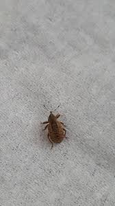 bugs in bedroom how to get rid of tiny black bugs in kitchen carpet beetle