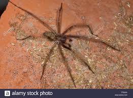 giant european house spider cobweb spider male hauswinkelspinne