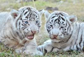 white tiger cub mortality and longevity white tigers the