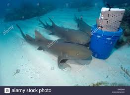 ginglymostoma cirratum stock photos ginglymostoma cirratum stock nurse sharks ginglymostoma cirratum attracted by scent released from chum bucket molasses reef key largo florida