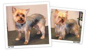 before and after yorkshire terriers short hair cut yorkie short trim groomer to groomer pet grooming news