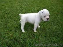 boxer dog quikr white boxer puppies for sale in 80 ft road bangalore pets on