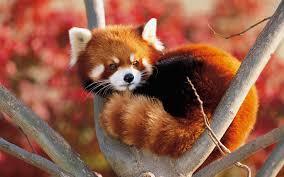 17 red pandas finals