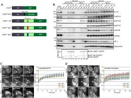 elys regulates the localization of lbr by modulating its