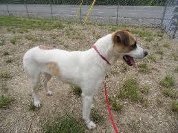 1 year old boxer dog meet desi a petfinder adoptable boxer dog morehead ky desi is