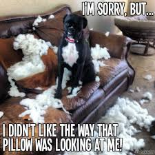T Dog Memes - don t like the way pillow look at me what breed is it
