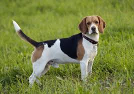 Dog Breeds That Dont Shed Uk by Nice Short Haired Dog Breeds Dog Breeds Puppies Short Haired Dog