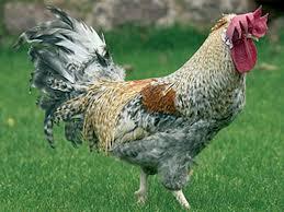 chicken breeds game birds with anyone here breeding bantam