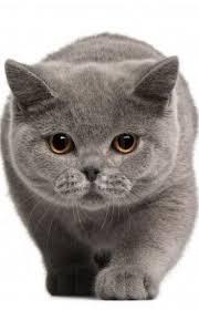 best 25 british blue cat ideas on pinterest british shorthair