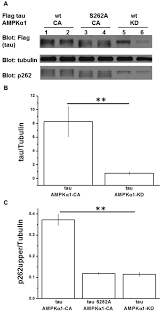 Anti Flag Affinity Gel An Ampk Dependent Regulatory Pathway In Tau Mediated Toxicity