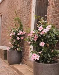 sundaville cream pink world u0027s no 1 mandevilla dipladenia