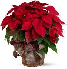 christmas flowers large poinsettia christmas flowers posh posy florist