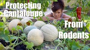 2 easy ways to protect cantaloupe u0026 melons from rodents calikim