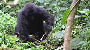 Gorilla by Bbc Earth Wild Gorilla Creates A Food Tool In U0027eureka U0027 Moment