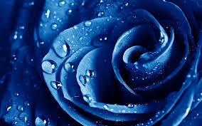 imagenes con flores azules dia de la maestra gotas de agua de rosas macro rose azul flores azules gotas fondos