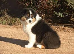 australian shepherd black puppies u2013 jailhouse aussies u2013 australian shepherd puppies for sale