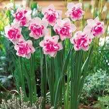 aliexpress com buy 100pcs flower daffodil daffodil seeds not