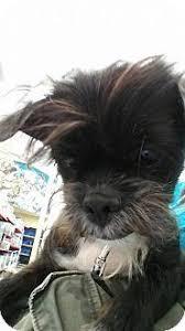 affenpinscher breeders texas affenpinscher aka monkey faced dog fuzzies pinterest dog