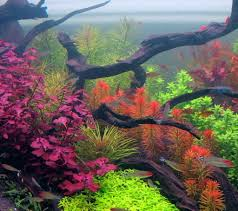 australian native aquatic plants 120 gallon dutch planted something or another aquarium plants