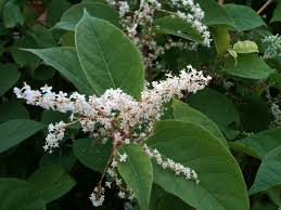 native plants of japan japanese knotweed u2013 still moon arts society