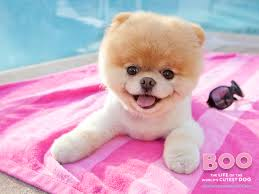 Cute Dogs Wallpapers by Boo The Dog Http Wallpapers Tabissh Club 2016 01 03 Animals