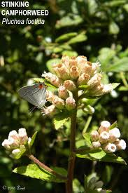florida native butterfly plants pink blooms what florida native plant is blooming today