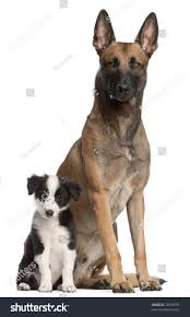 belgian malinois size at 6 months belgian shepherd dog 2 years old stock photo 78058792 shutterstock
