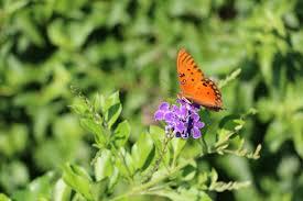 native plants that attract butterflies wisdom on wednesdays u2013 keep pearland beautiful