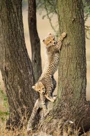 194 best cheetahs images on pinterest wild animals animals and